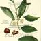 ZS177: Robert Fortune, Botaniker und Teespion