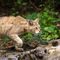 Is genetic modification the answer to Australia's feral cat problem?