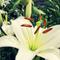 SALAS - Lily White Powder #004 Summer Mission Edition
