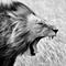 A Free Lions Roar!