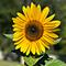 Teté Sparrow - Sunflower session