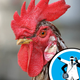 How can a headless chicken run? - Ask the Naked Scientists 15.08.28