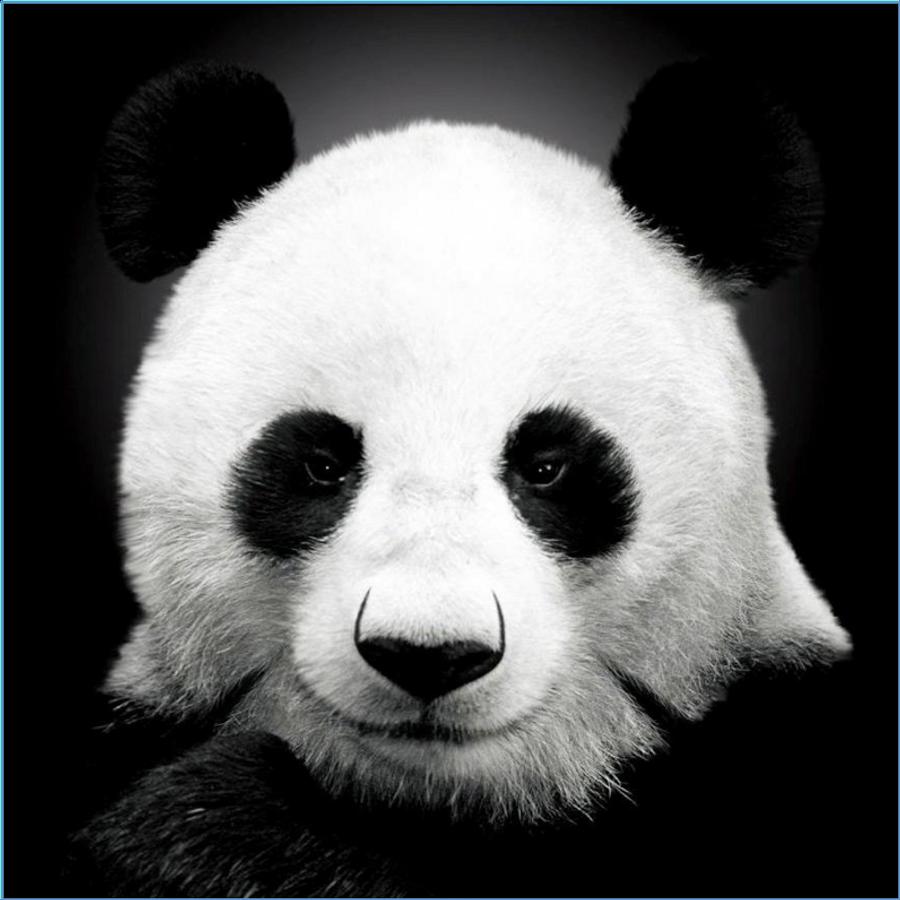 Фото крутых панд